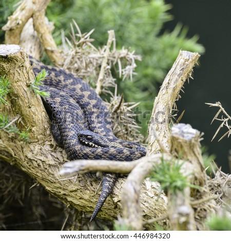 Adder snake vipera berus relaxing on tree in warm Summer sunlight - stock photo