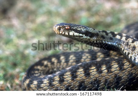 Adder, Vipera berus, single female, Midlands,