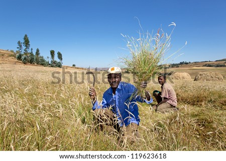 ADDIS ABABA, ETHIOPIA   NOV 10: Unidentified farm laborers cut grass with sickles November 10, 2012 near Addis Ababa, Ethiopia.  Over 80% of the population live and work in rural Ethiopia. - stock photo