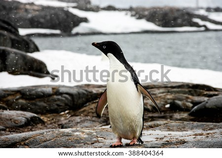 Adelie or pygoscelis adeliae penguin is staying alone is snowing weather in Antarctica. There are sea, rocks and snow in the background. - stock photo