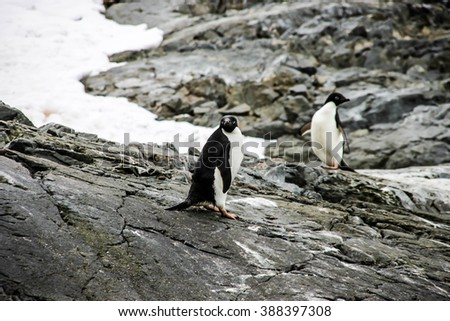 Adelie or pygoscelis adeliae penguins are staying alone on the grey rock in snowing weather in Antarctica. There are rocks and snow in the background.  - stock photo