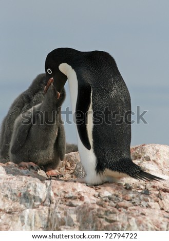 Adelie Penguin and chick - stock photo