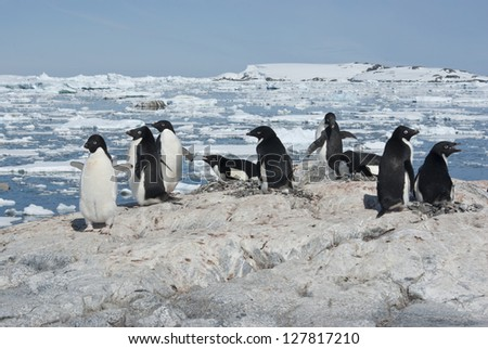 Adelie penguin colony on the rocky Antarctic island bright summer day.
