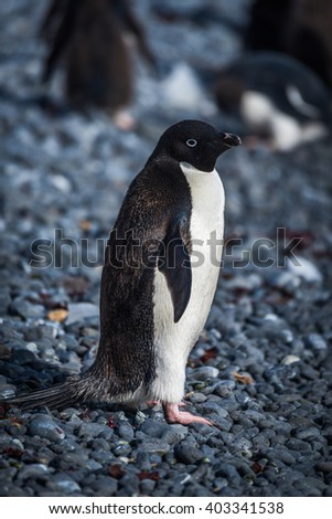 Adelie penguin in sunshine looking at camera - stock photo