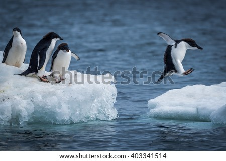 Adelie penguin jumping between two ice floes - stock photo