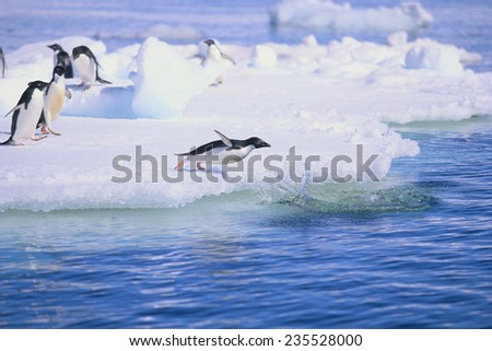 Adelie Penguin Jumping into the Sea