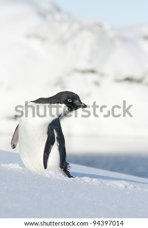 Adelie penguin looking to the side. - stock photo