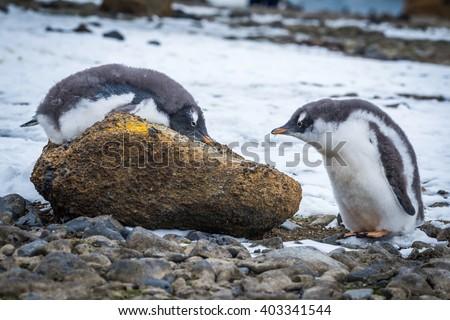 Adelie penguin lying on rock beside another - stock photo