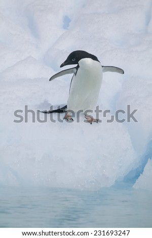 Adelie Penguin Preparing to Jump in Water