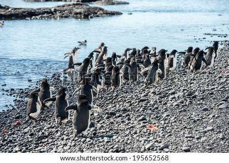 Adelie penguin (Pygoscelis adeliae) - stock photo