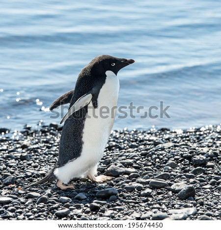 Adelie penguin (Pygoscelis adeliae) - stock photo