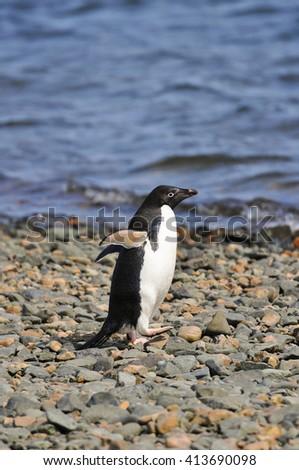 Adelie Penguin (Pygoscelis adeliae), Ardley Island, Antarctica - stock photo
