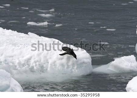 Adelie penguin (Pygoscelis adeliae) jumping off an iceberg - stock photo