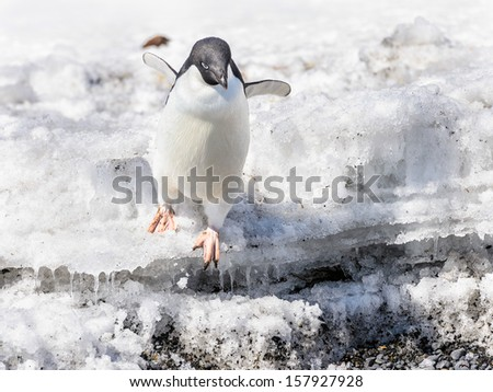 Adelie Penguin (Pygoscelis adeliae) jumps down from the rock - stock photo