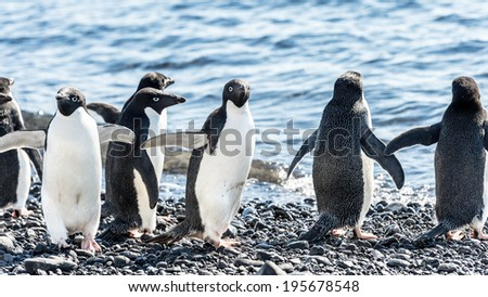 Adelie penguin (Pygoscelis adeliae) on the Antarctic coast