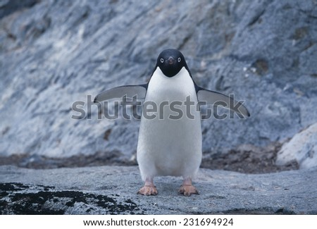 Adelie Penguin Running on Rocks