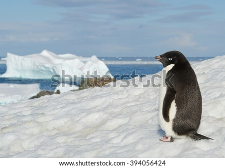 Adelie penguin standing on snowy hill, with blue sea and iceberg in background, Antarctic Peninsula - stock photo