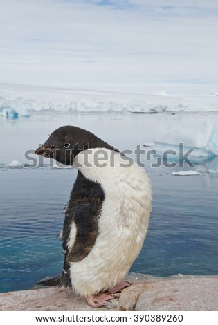 Adelie penguin standing on the rock, icebergs and mountains in the background, Antarctic Peninsula - stock photo