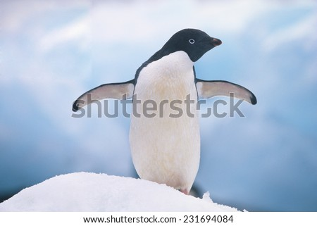 Adelie Penguin with Wings Outstretched