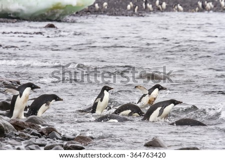 Adelie penguins diving and swimming off Paulet Island, Antarctica.