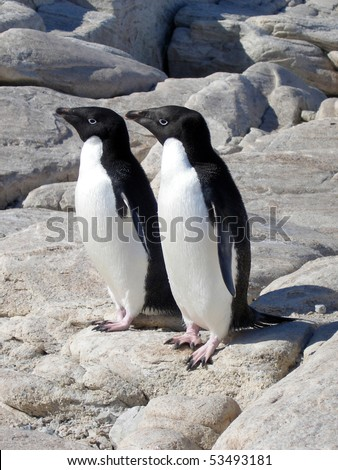 Adelie Penguins in Antarctica - stock photo