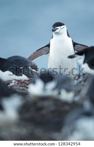 Adelie Penguins isolated on - stock photo
