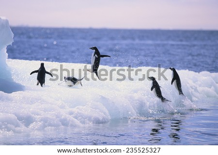 Adelie Penguins Jumping Out of the Sea