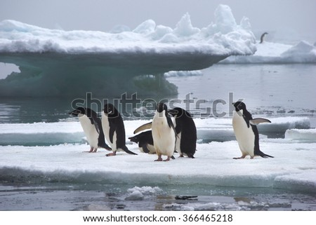 Adelie Penguins standing on Ice Floe in Antarctica ready to jump into the water - stock photo