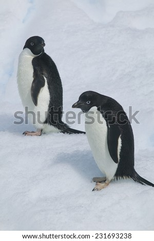 Adelie Penguins Walking on Ice Floe