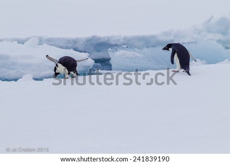 Adelle penguins diving into the water in Antarctica - stock photo