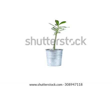 adenium flower in metal pot isolated on white background