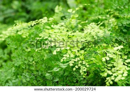 Adiantum fern or Maidenhair fern - stock photo