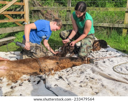 ADLINGTON, CHESHIRE, UK: May 25 2014. Two female shearers giving a brown alpaca its annual shearing on an alpaca farm. The caucasian girls are using clippers on the alpacas fibre (fiber)