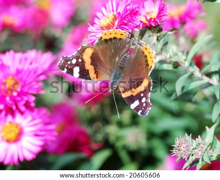 Admiral Butterfly on pink aster flowers
