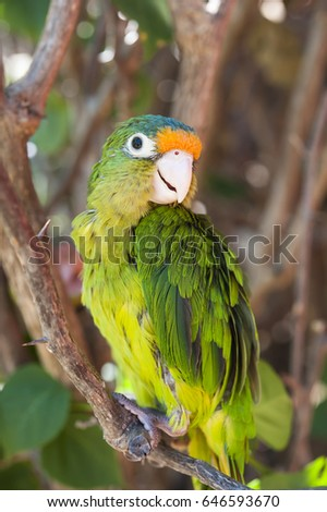 Adolescent orange fronted parakeet sitting on a branch