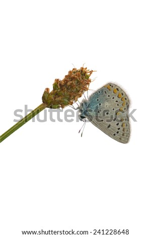 Adonis blue on a white background. - stock photo