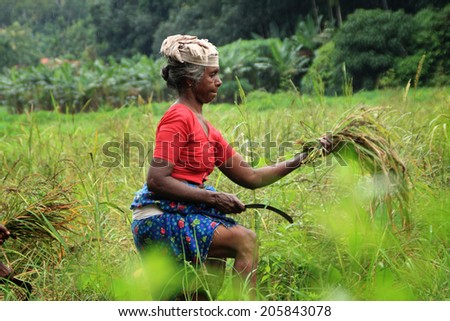 ADOOR, INDIA -JUL 18 : An unidentified farm worker harvests the organically cultivated paddy from the paddy field managed by Kerala Jaiva Karshaka Samithi on July 18, 2014 in Adoor, Kerala, India.
