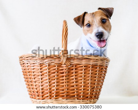 Adopt a dog. Jack Russell Terrier inside a basket as a present - stock photo
