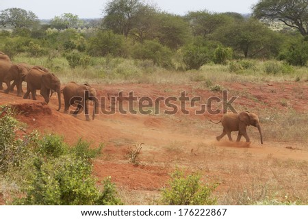 Adopted Baby African Elephants at the David Sheldrick Wildlife Trust in Tsavo national Park, Kenya