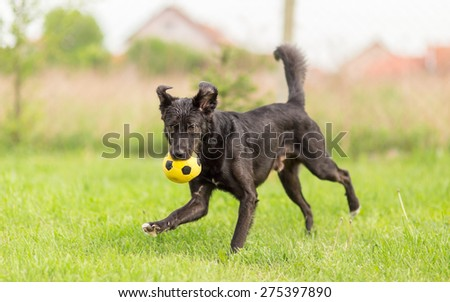 Adopted mixed breed dog playing with soccer ball - stock photo