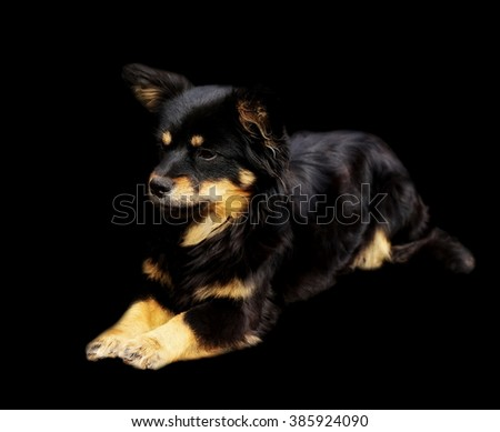 Adopted pariah dog isolated on black background - stock photo