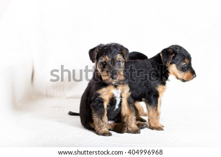 Adorable Airedale terrier puppy look at camera - stock photo
