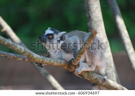 Adorable amazing face of a baby lemur sitting in a tree.