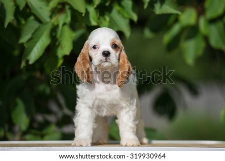adorable american cocker puppy standing outdoors - stock photo