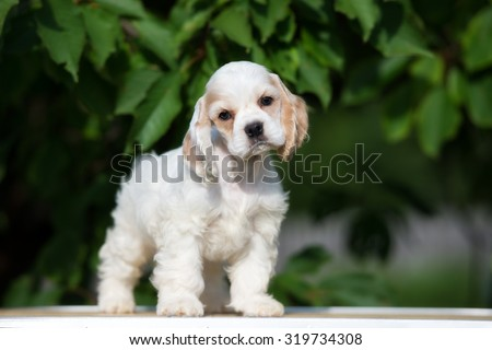 adorable american cocker spaniel puppy - stock photo