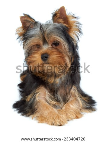 Adorable and charming puppy of the Yorkshire Terrier - stock photo