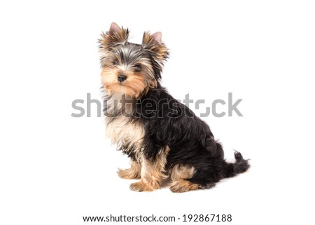Adorable and cute puppy of yorkshire terrier . Isolated on white.