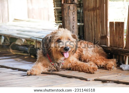 Adorable and friendly dog laying in the house with tongue hanging  - stock photo