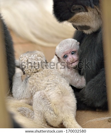 Adorable baby Colobus monkey, Colobus guereza, hugs an adult Colobus as a young sibling walks by. Colobus monkeys use a parenting style called 'aunting' to raise young.  - stock photo
