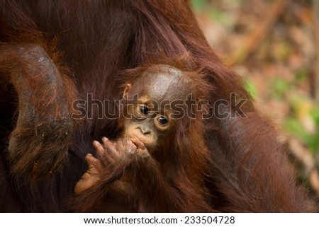 Adorable baby orangutan in the jungle of Borneo Indonesia. - stock photo
